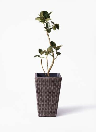 観葉植物 フィカス バーガンディ 8号 曲り ウィッカーポット スクエアロング OT 茶 付き