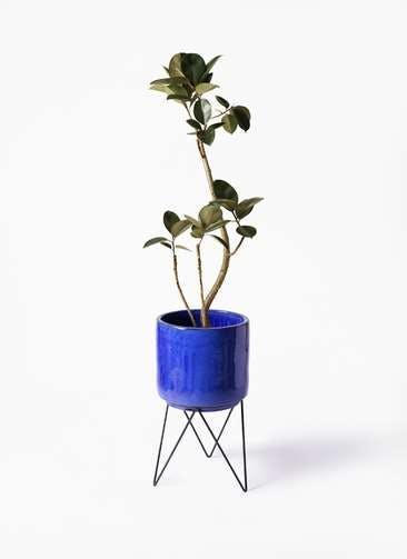 観葉植物 フィカス バーガンディ 8号 曲り ビトロ エンデカ ブルー アイアンポットスタンド ブラック 付き