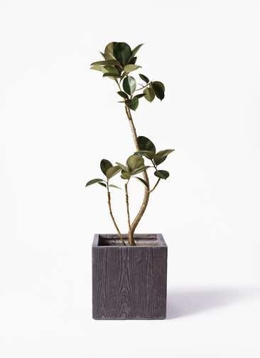 観葉植物 フィカス バーガンディ 8号 曲り ベータ キューブプランター ウッド 茶 付き