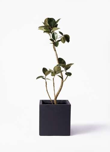 観葉植物 フィカス バーガンディ 8号 曲り  ベータ キューブプランター 黒 付き