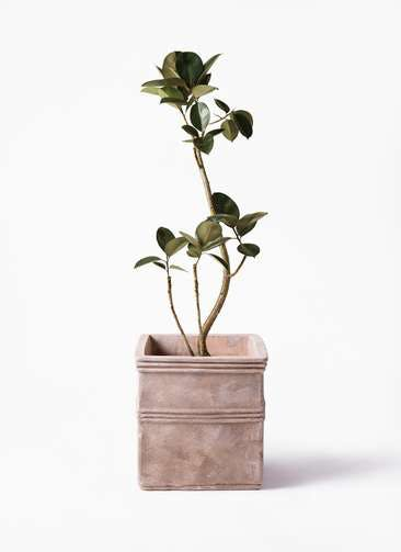 観葉植物 フィカス バーガンディ 8号 曲り  テラアストラ カペラキュビ 赤茶色 付き