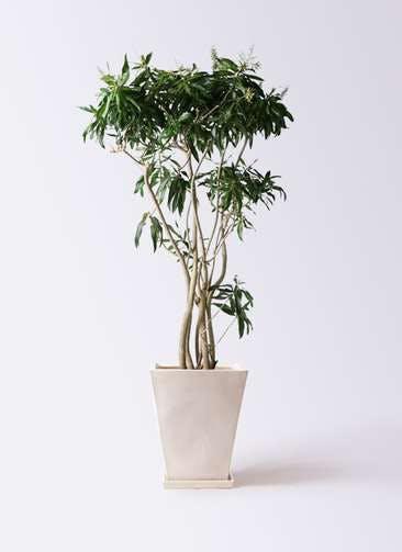観葉植物 ドラセナ ソング オブ ジャマイカ 10号 スクエアハット 白 付き
