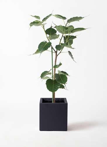 観葉植物 インドボダイジュ 8号 ベータ キューブプランター 黒 付き