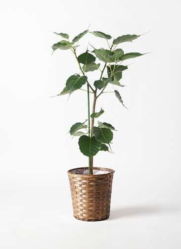 観葉植物 インドボダイジュ 8号 竹バスケット 付き