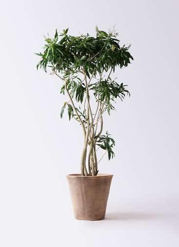 観葉植物 ドラセナ ソング オブ ジャマイカ 10号 ルーガ アンティコ ソリッド 付き