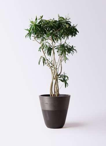 観葉植物 ドラセナ ソング オブ ジャマイカ 10号 ジュピター 黒 付き