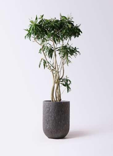 観葉植物 ドラセナ ソング オブ ジャマイカ 10号 カルディナトールダークグレイ 付き
