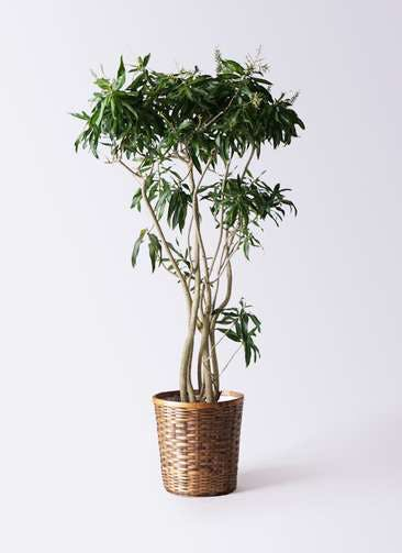 観葉植物 ドラセナ ソング オブ ジャマイカ 10号 竹バスケット 付き