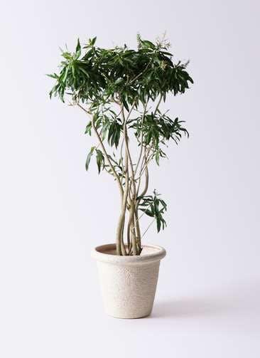 観葉植物 ドラセナ ソング オブ ジャマイカ 10号 ビアスリムス 白 付き