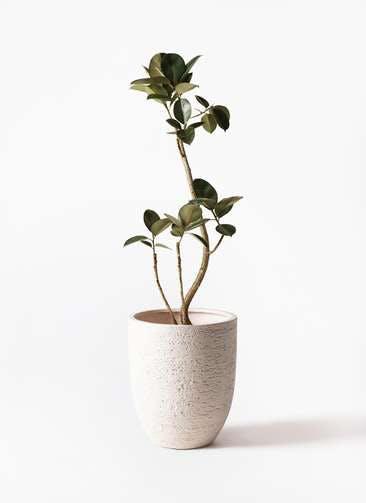 観葉植物 フィカス バーガンディ 8号 曲り ビアスアルトエッグ 白 付き