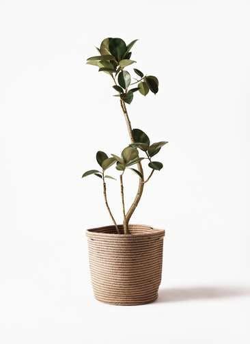 観葉植物 フィカス バーガンディ 8号 曲り リブバスケットNatural 付き
