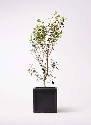 観葉植物 フランスゴムの木 10号 ノーマル ブリティッシュキューブ 付き
