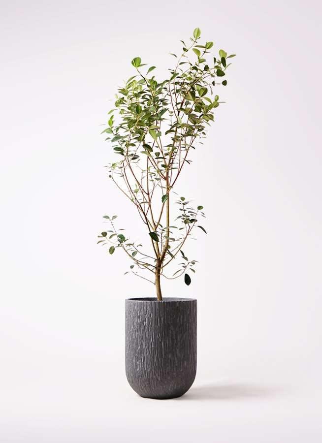 観葉植物 フランスゴムの木 10号 ノーマル カルディナトールダークグレイ 付き