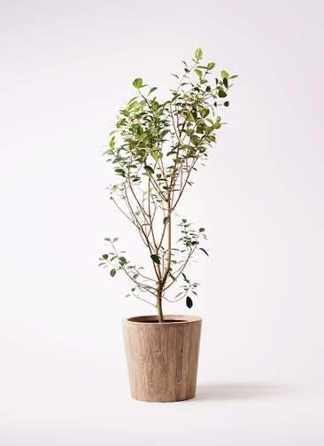 観葉植物 フランスゴムの木 10号 ノーマル ウッドプランター 付き