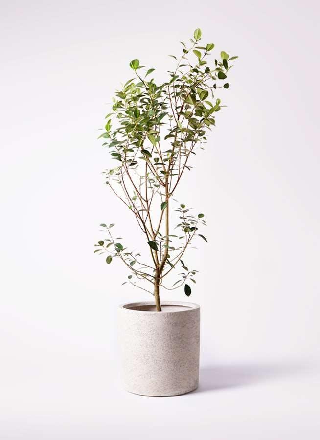 観葉植物 フランスゴムの木 10号 ノーマル サンディ シリンダー 白 付き