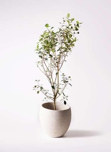 観葉植物 フランスゴムの木 10号 ノーマル エコストーンLight Gray 付き