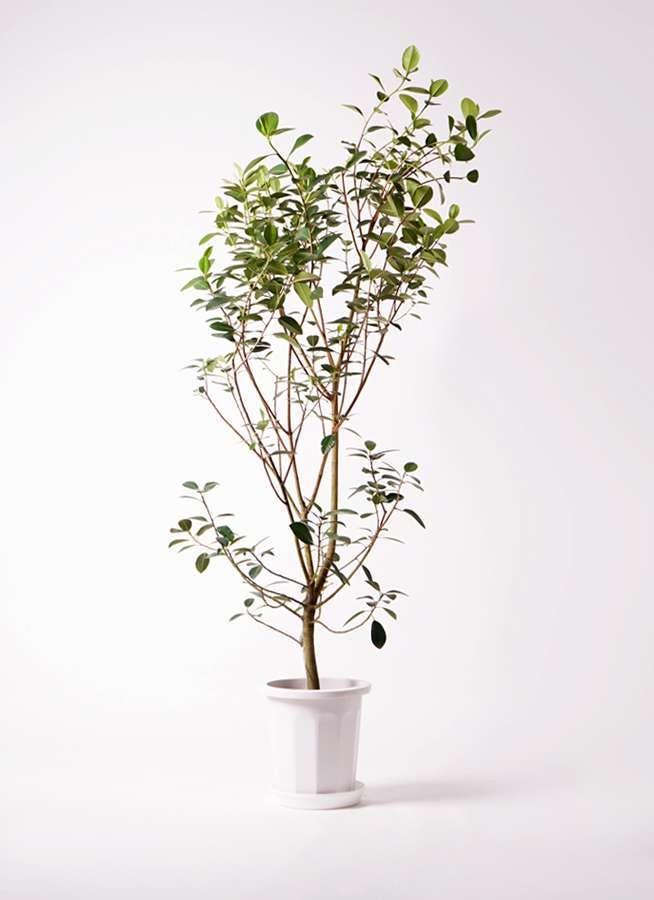 観葉植物 フランスゴムの木 10号 ノーマル プラスチック鉢