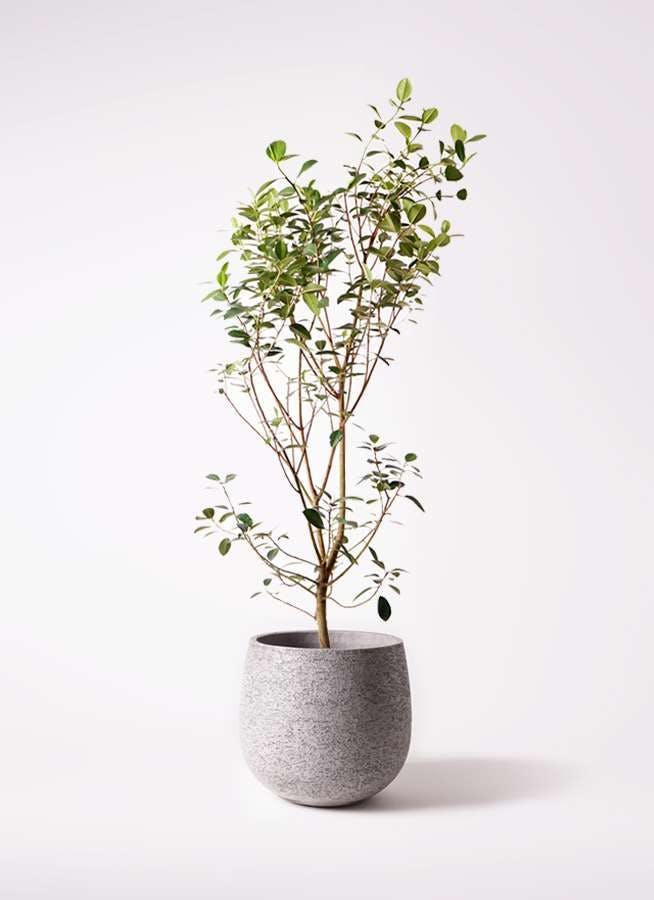 観葉植物 フランスゴムの木 10号 ノーマル エコストーンGray 付き