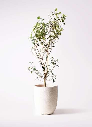 観葉植物 フランスゴムの木 10号 ノーマル ビアスアルトエッグ 白 付き