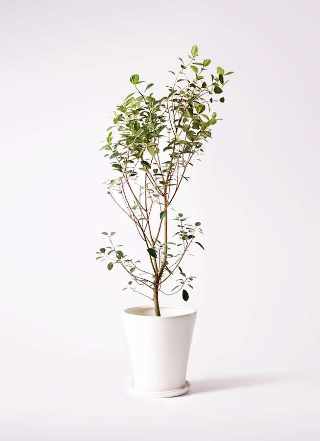 観葉植物 フランスゴムの木 10号 ノーマル サブリナ 白 付き