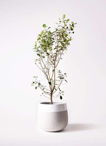 観葉植物 フランスゴムの木 10号 ノーマル ファイバーストーンタウルス ミドル 白 付き