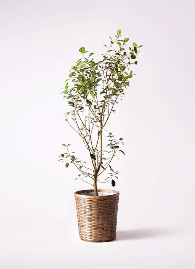 観葉植物 フランスゴムの木 10号 ノーマル 竹バスケット 付き