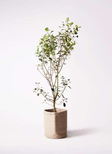 観葉植物 フランスゴムの木 10号 ノーマル リブバスケットNatural 付き