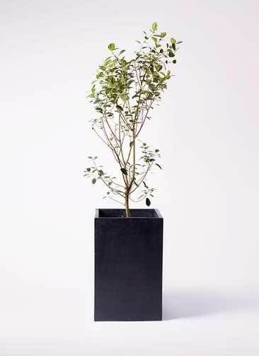 観葉植物 フランスゴムの木 10号 ノーマル セドナロング 墨 付き