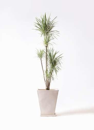 観葉植物 コンシンネ ホワイポリー 10号 ストレート スクエアハット 白 付き