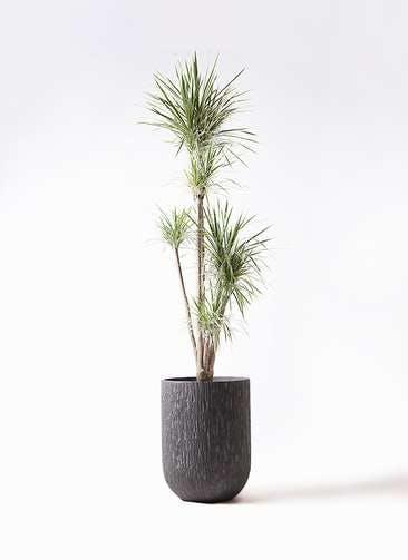 観葉植物 コンシンネ ホワイポリー 10号 ストレート カルディナトールダークグレイ 付き