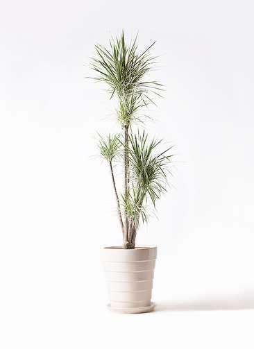 観葉植物 コンシンネ ホワイポリー 10号 ストレート サバトリア 白 付き