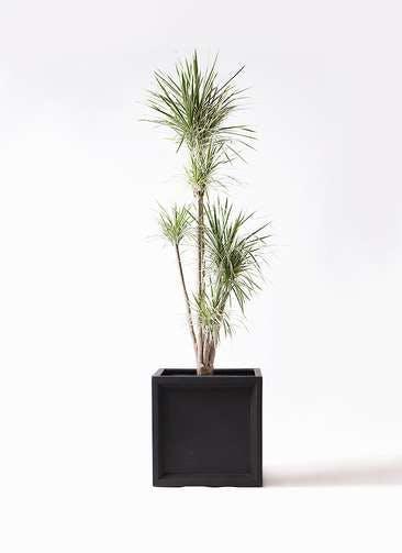 観葉植物 コンシンネ ホワイポリー 10号 ストレート ブリティッシュキューブ 付き