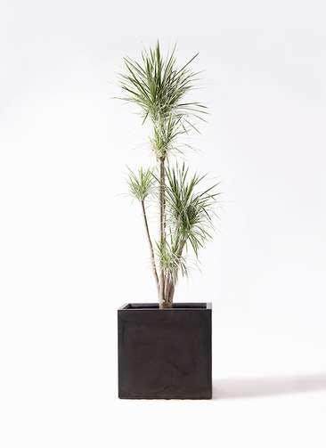観葉植物 コンシンネ ホワイポリー 10号 ストレート ファイバークレイ キューブ 付き