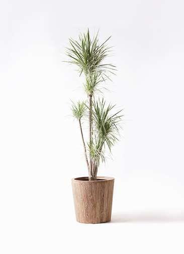 観葉植物 コンシンネ ホワイポリー 10号 ストレート ウッドプランター 付き