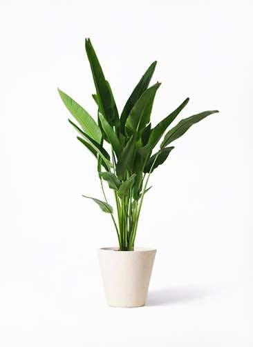 観葉植物 旅人の木 10号 フォリオソリッド クリーム 付き