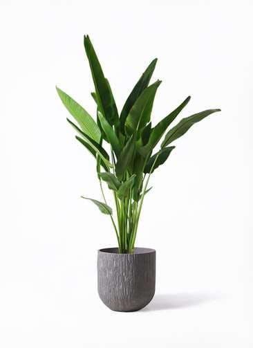 観葉植物 旅人の木 10号 カルディナダークグレイ 付き