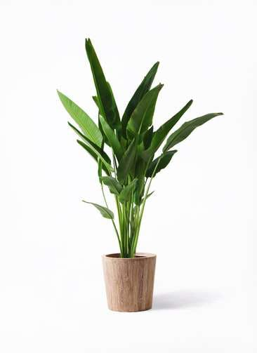 観葉植物 旅人の木 10号 ウッドプランター 付き