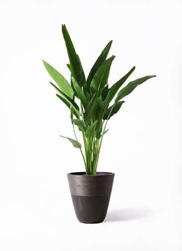 観葉植物 旅人の木 10号 ジュピター 黒 付き