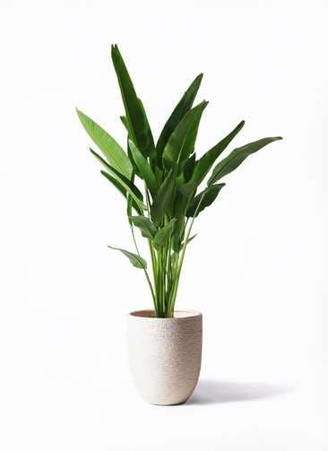 観葉植物 旅人の木 10号 ビアスアルトエッグ 白 付き