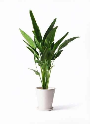 観葉植物 旅人の木 10号 サブリナ 白 付き