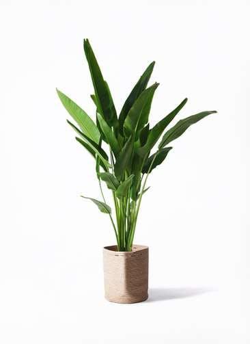 観葉植物 旅人の木 10号 リブバスケットNatural 付き