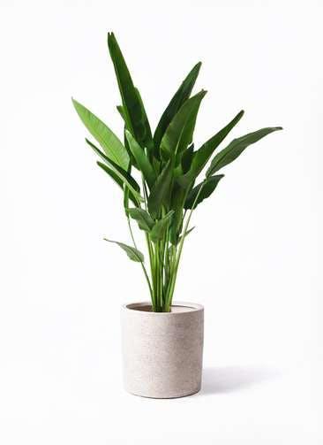 観葉植物 旅人の木 10号 サンディ シリンダー 白 付き