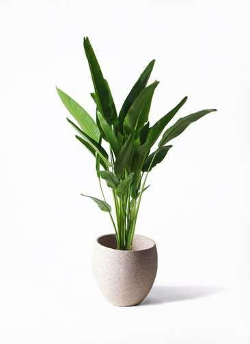 観葉植物 旅人の木 10号 エコストーンLight Gray 付き