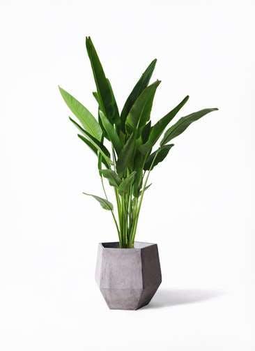 観葉植物 旅人の木 10号 ファイバークレイGray 付き