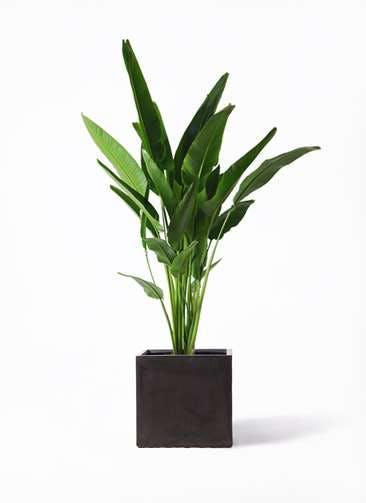 観葉植物 旅人の木 10号 ファイバークレイ キューブ 付き
