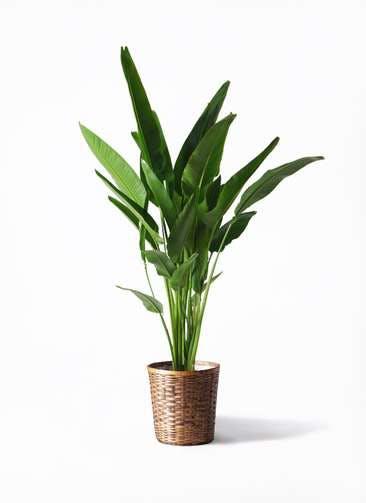 観葉植物 旅人の木 10号 竹バスケット 付き
