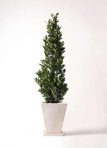 観葉植物 月桂樹 10号 スクエアハット 白 付き
