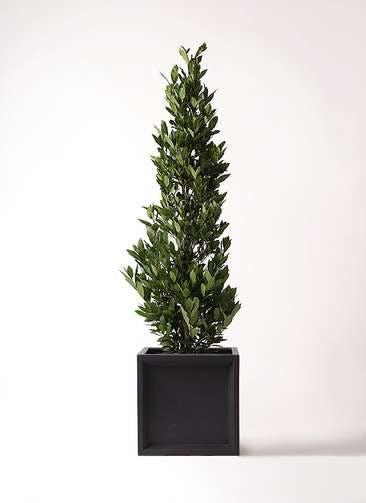 観葉植物 月桂樹 10号 ブリティッシュキューブ 付き