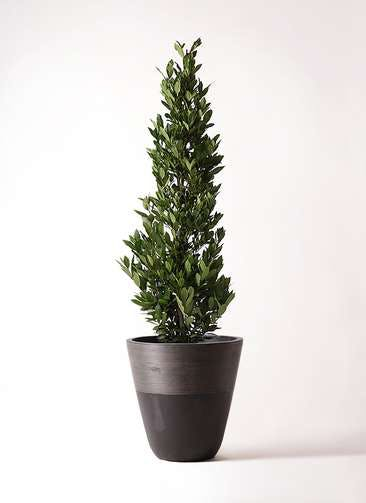 観葉植物 月桂樹 10号 ジュピター 黒 付き