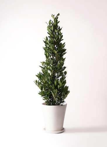 観葉植物 月桂樹 10号 サブリナ 白 付き